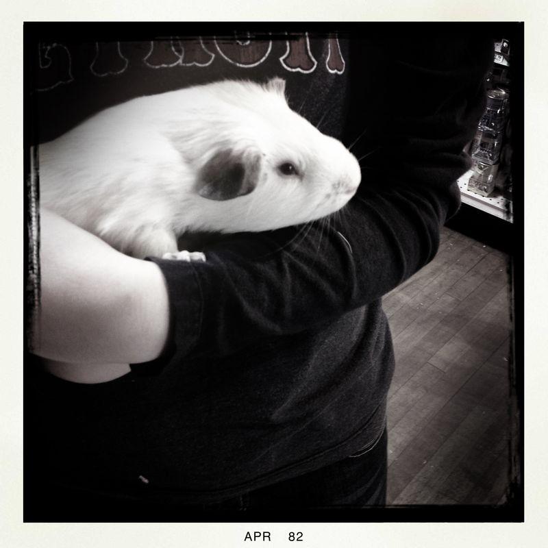 1 Guinea Pig