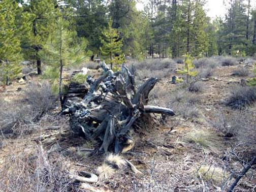 2 Sunriver Tree Stump