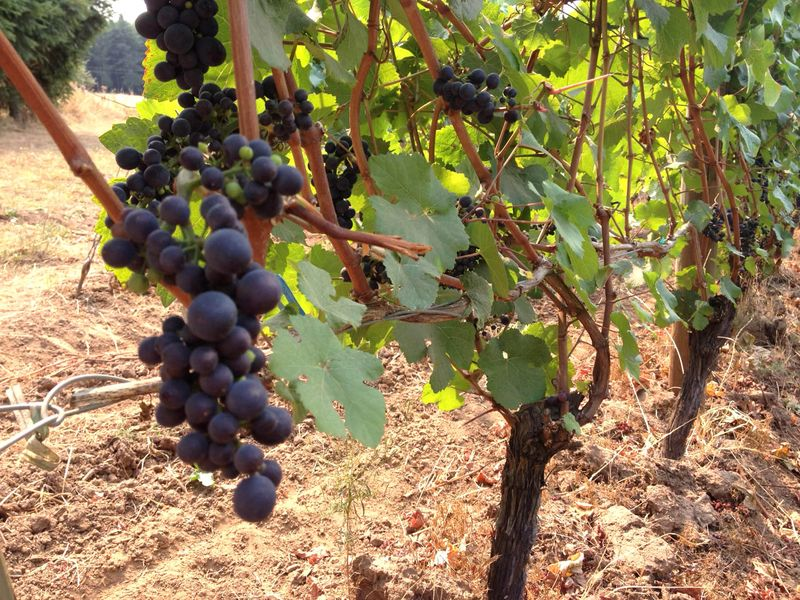 Sept Vineyard 3