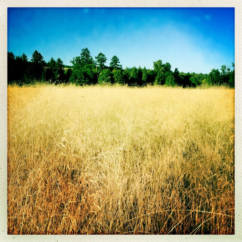 Golden Field 1