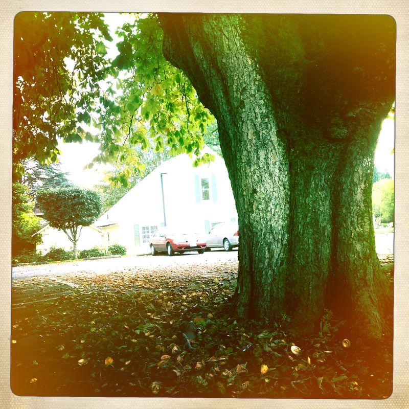 Horse Chestnut Tree1