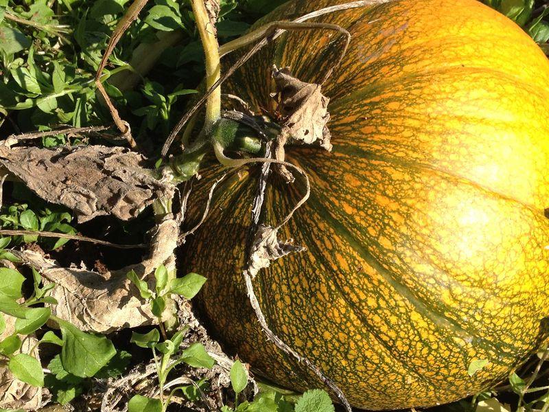 SO Pumpkin Patch 5