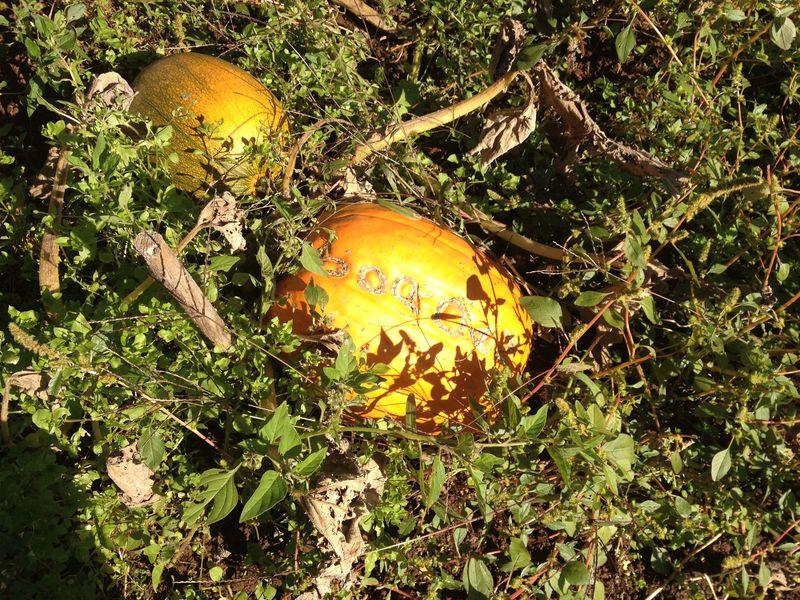 SO Pumpkin Patch 7
