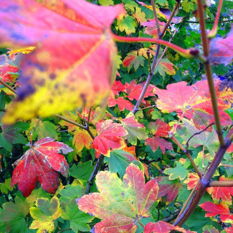 SO VineMaple Leaves