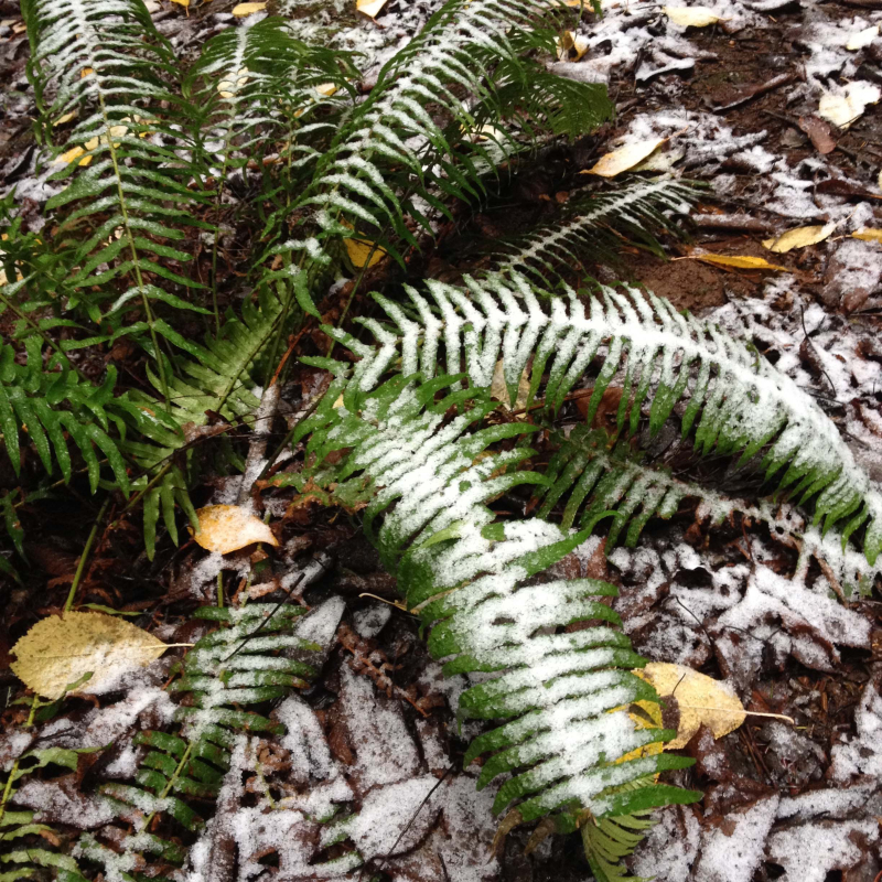SO Winter Fern