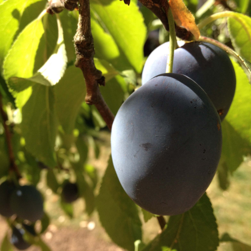 SO PLUMS 1