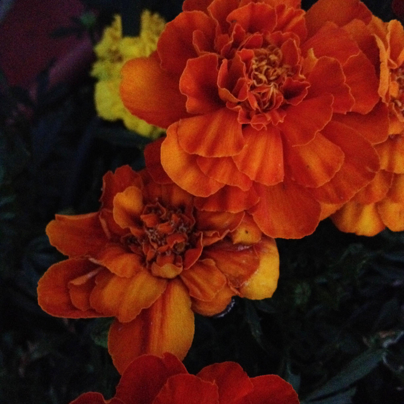 SO Marigolds