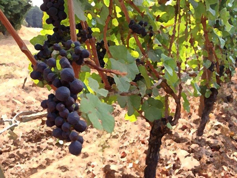 SO Pinot Grapes
