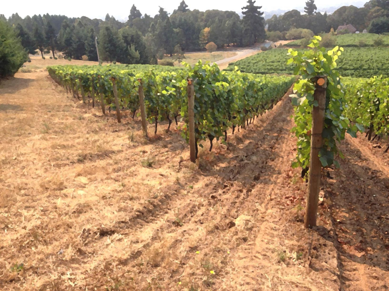 SO Pinot Vineyard