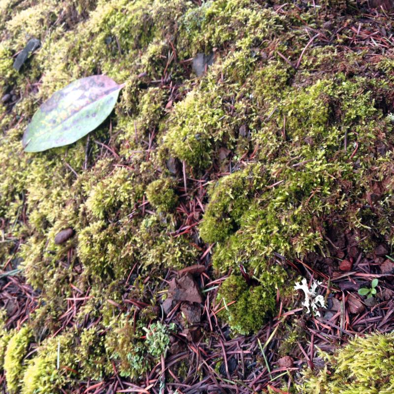 SO Moss 2