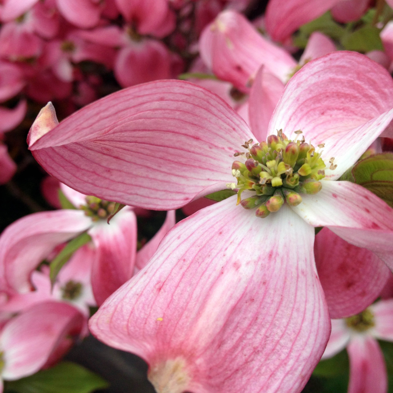 SO Dogwood 1