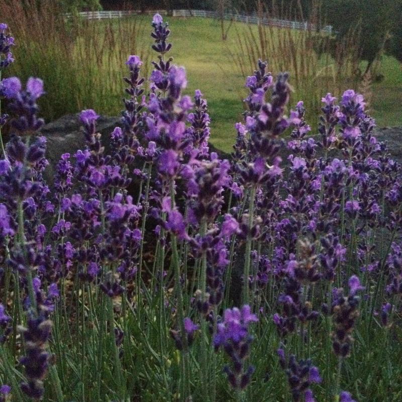 SO Lavender