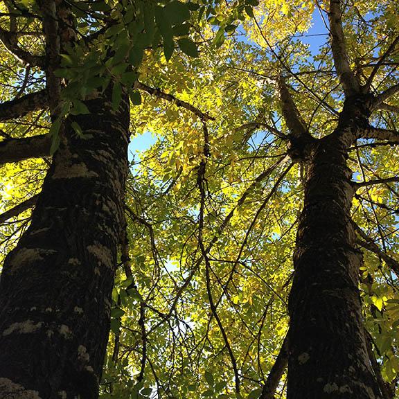 SO Autumn Walnut Trees