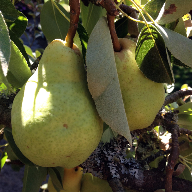 SO Pears 1