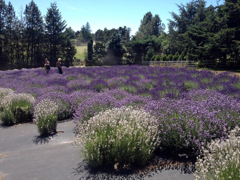 SO Lavender Fields 6