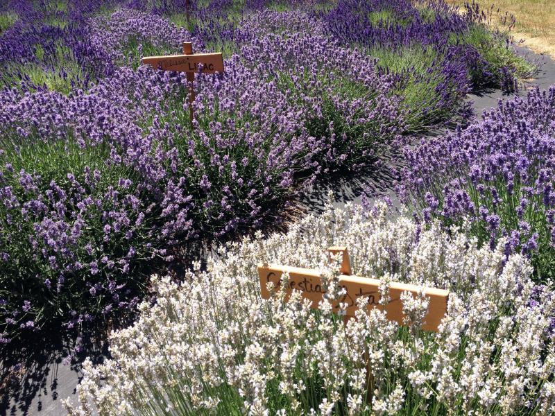 SO Lovely Lavender 7