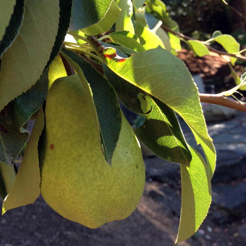 SO Pears 3